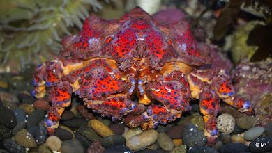 Photo: Puget Sound King Crab