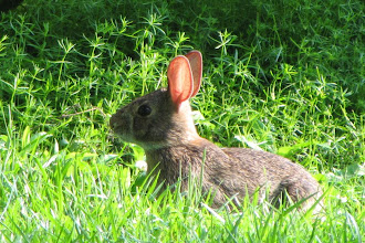 Photo: All ears -- a seedling-chomping cottontail is difficult to sneak up on