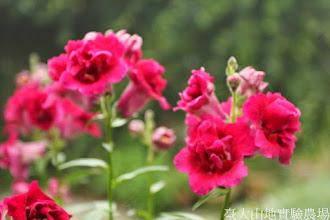 Photo: 拍攝地點: 梅峰-溫帶花卉區 拍攝植物: 金魚草 拍攝日期: 2014_05_27_FY