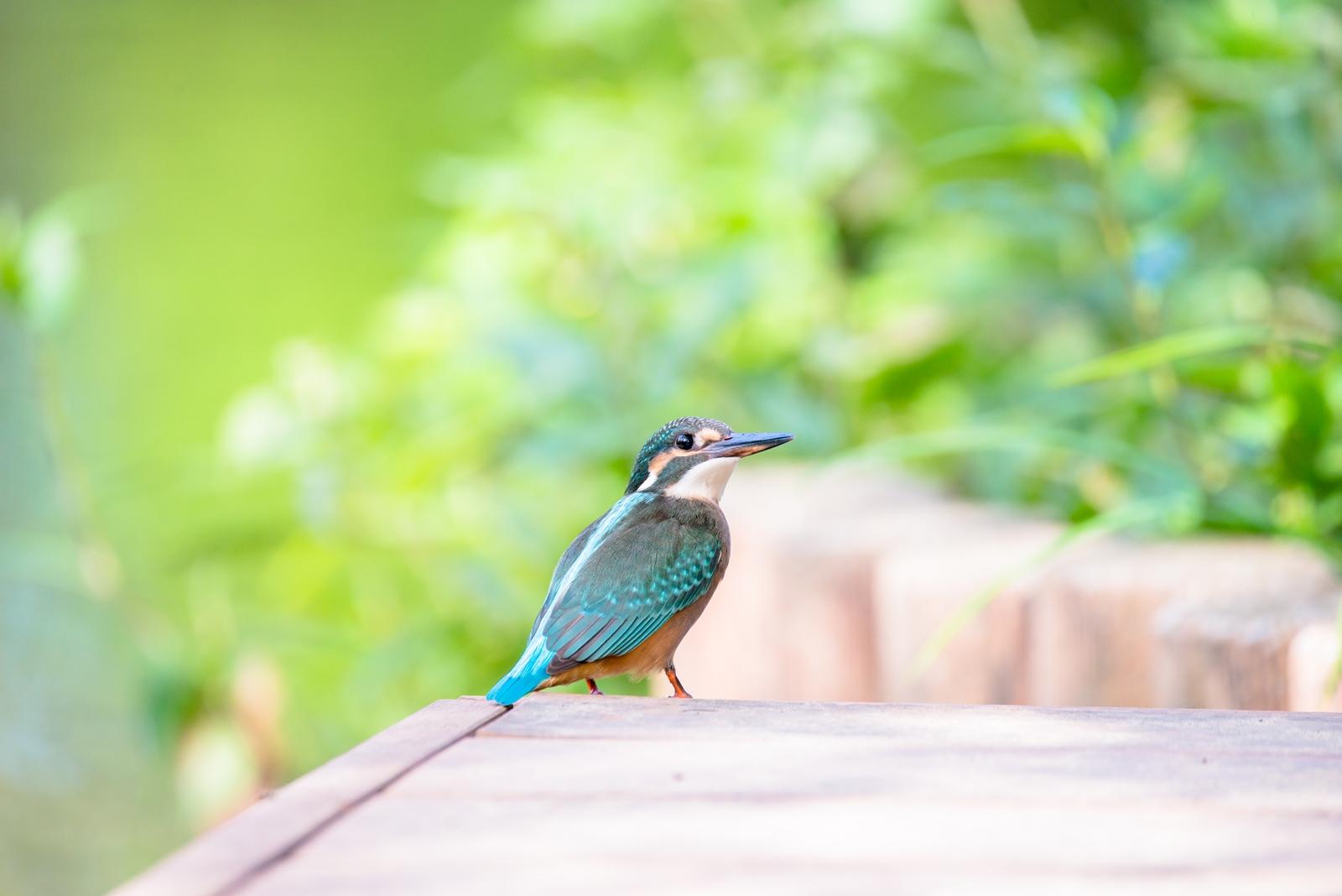 Photo: そっと見返る Look back.  朝の散歩みち 目の前に立つ小さな姿 ふと見返る 美味しいご飯とれたかな  Kingfisher. (カワセミ)  #birdphotography #birds #cooljapan #kawaii #nikon #sigma  Nikon D800E SIGMA 150-600mm F5-6.3 DG OS HSM Contemporary