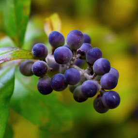 autumn berry by Ira Mdt - Nature Up Close Gardens & Produce ( #autumn #closeup #berry #contrast #fruits,  )