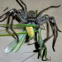Giant grey huntsman (♂)