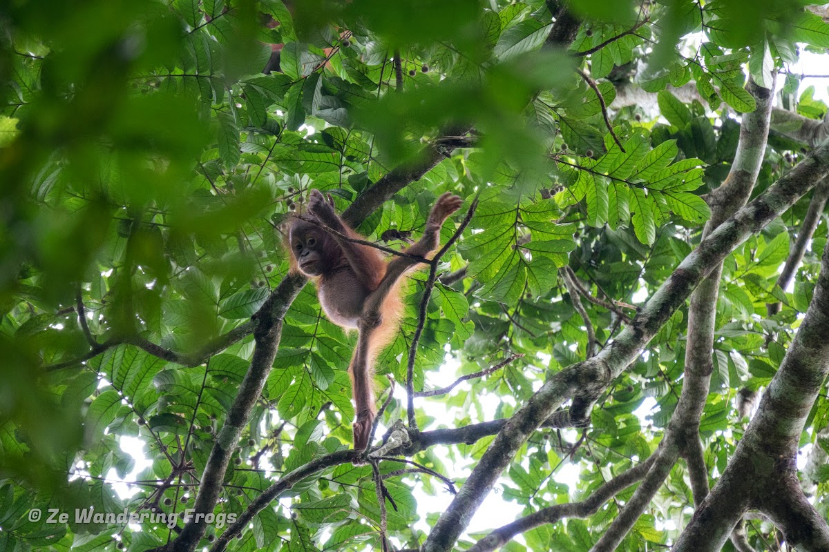 Indonesia. Borneo Kalimantan Orangutans. Orangutan baby showing off his stretching skills