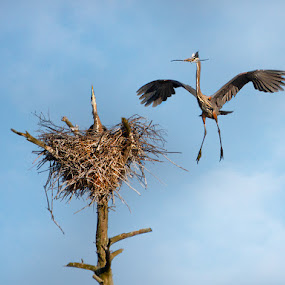 Great Blue Heron Pair by Peter Christoph - Animals Birds