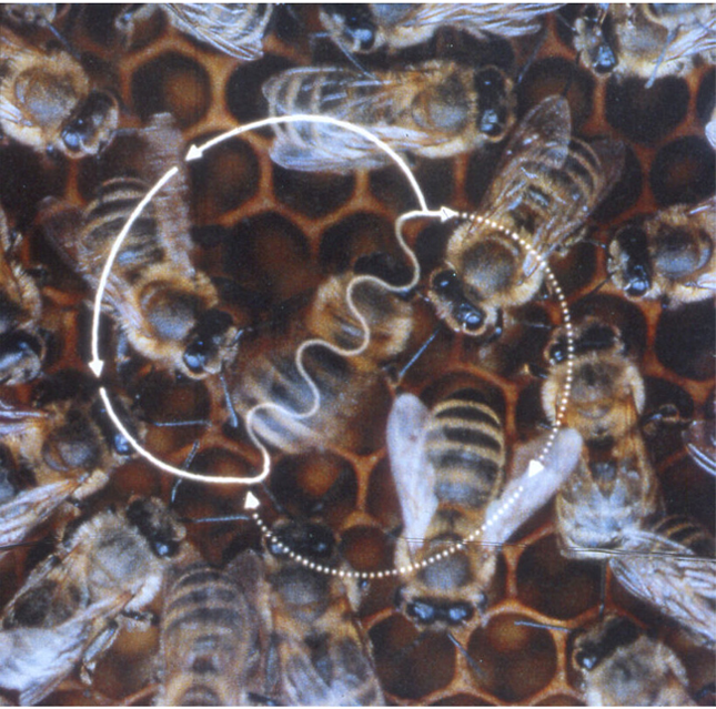 https://upload.wikimedia.org/wikipedia/commons/4/4b/Bee_waggle_dance.png