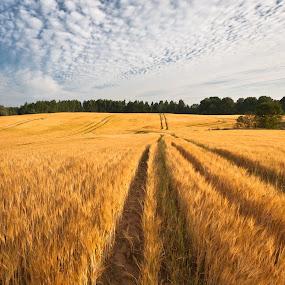 by Eriks Zilbalodis - Landscapes Prairies, Meadows & Fields ( barley, summer, harvest, landscapes, fields )