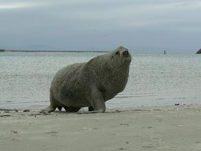 Photo: Dunedin, Sea Lion