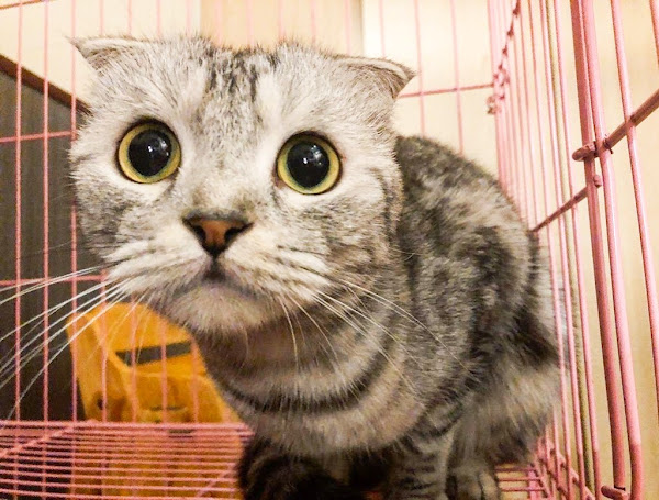 和貓咪有約.松山區不限時吸貓吸到飽.20隻萌翻小店員