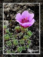 Photo: Saxifrage à feuilles opposées, Saxifraga oppositifolia
