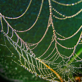 Morning Web with dew by JoAnn Palmer - Nature Up Close Webs ( water, balls, nature, moisture, dew, drops, reflections, spider, web, beads, dew drops, spider web )