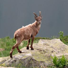 Capricorn by Igor Gruber - Animals Other Mammals ( capricorn )