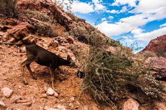 Photo: Funny deer at the bottom of the Grand Canyon Nation Park, Arizona, USA