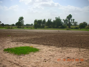 Photo: Rice nursery ready to be transplanted into a prepared field space next to seasonal river in Kaffrine Region, Senegal, West Africa. [Photo by Lorraine Perricone - Dazzo, June, 2013]