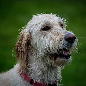 Wet Dog by Judy Soper - Animals - Dogs Portraits ( water, labradoodle, puppy, wet, dog,  )