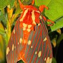 Royal Walnut Moth