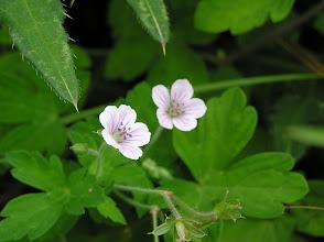 Photo: ゲンノショウコ(フウロソウ科)。寧比曽岳にて。 昔から下痢止め・健胃剤として用いられている。名前の由来は飲むとすぐに薬効が現れることから「現の証拠」となったらしい。可愛い花ですね。