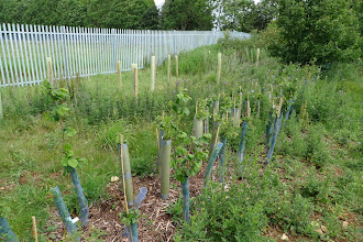 Photo: Hedge by the new fence now becoming established.