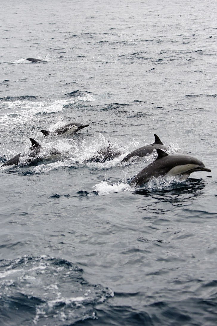 Common Dolphins - What to See in San Diego.