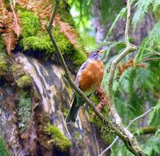 Photo: American Robin:  http://www.allaboutbirds.org/guide/american_robin/id