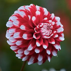 Dahlia 9785~ by Raphael RaCcoon - Flowers Single Flower