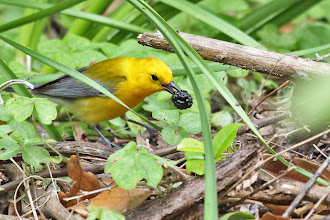 Photo: Prothonotary Warbler