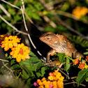Changeable Lizard (變色樹蜥)