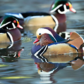 Mandarin Ducks by Tommy  Lam - Uncategorized All Uncategorized (  )