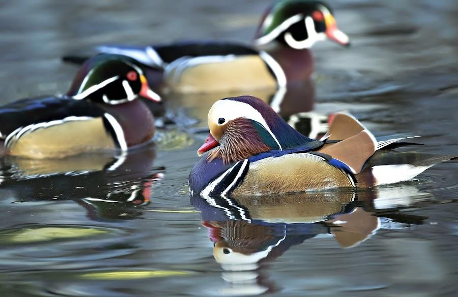 Mandarin Ducks by Tommy  Lam - Uncategorized All Uncategorized (  )