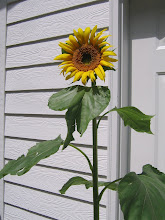 Photo: Volunteer domestic sunflower.  Wild ones have smaller seeds, smaller disks and are overall smaller in general.