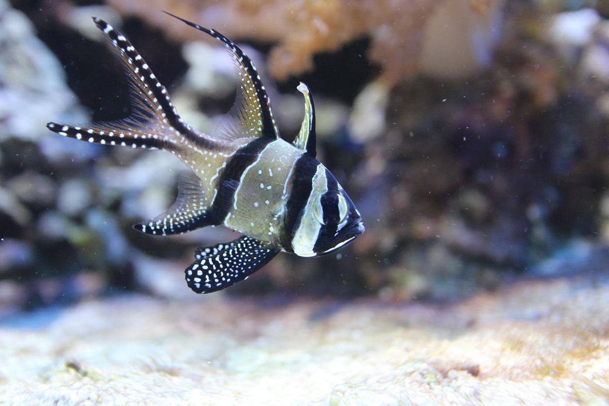 Image result for banggai cardinalfish