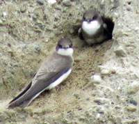 A photograph of Bank Swallow