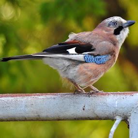 Sojka by Věra Tudy - Animals Birds