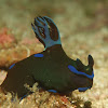 Tambja morosa Nudibranch
