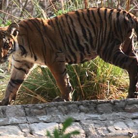 by Arun Baweja - Animals Lions, Tigers & Big Cats