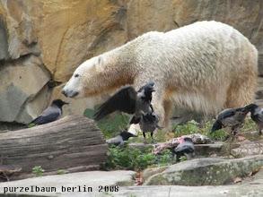 Photo: Knut, der Ochsenschwanz und jede Menge Kraehen ;-)