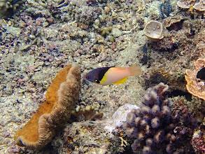 Photo: Bodianus mesothorax (Blackbelt Hogfish), Miniloc Island Resort reef, Palawan, Philippines.