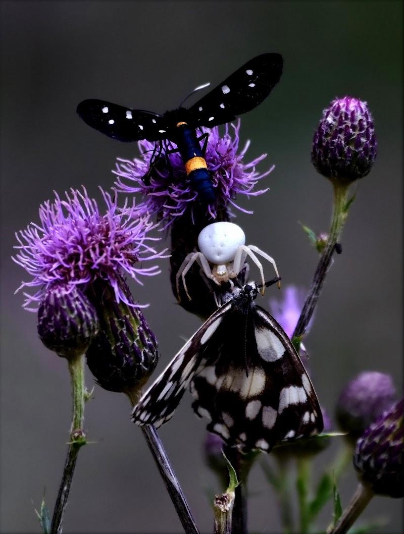 Se sei farfalla, non fidarti del ragno... di gigidueelle