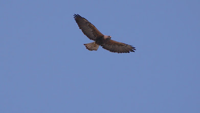 Photo: Swainson Hawk