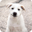 Labrador Dog Wallpaper icon