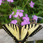 Eastern swallow tail