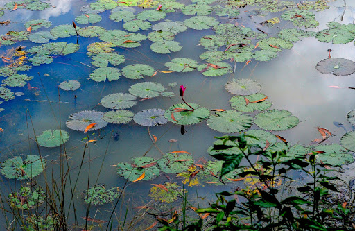 cambodia-lily-pads.jpg - Water lilies are favorite photographic subjects of mine.  These reflect the clear blue skies on day one of our visit to the Angkor Wat temples.