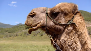 Happy Couple of Camels thumbnail