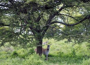 Photo: Ensimmäiset seeprat Keniassa