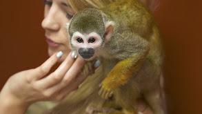 Sushi Eating Squirrel Monkey thumbnail