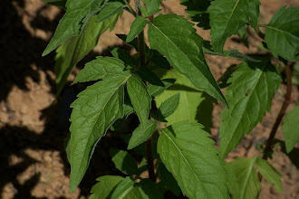 Photo: Eupatorium cannabinum