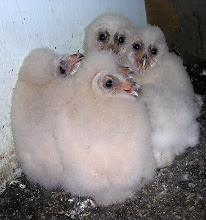 Photo: Barn owlets are just starting to develop their heart shaped face