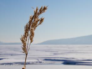 Photo: Reed at Gjerdal beach