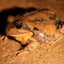 Giant Banjo Frog