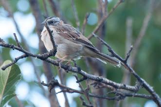 Photo: Stripe-capped Sparrow (Streifenscheitelammer); Valle Cachaquí, ARG