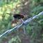 Horsefly (Loggerhead Shrike Victim)